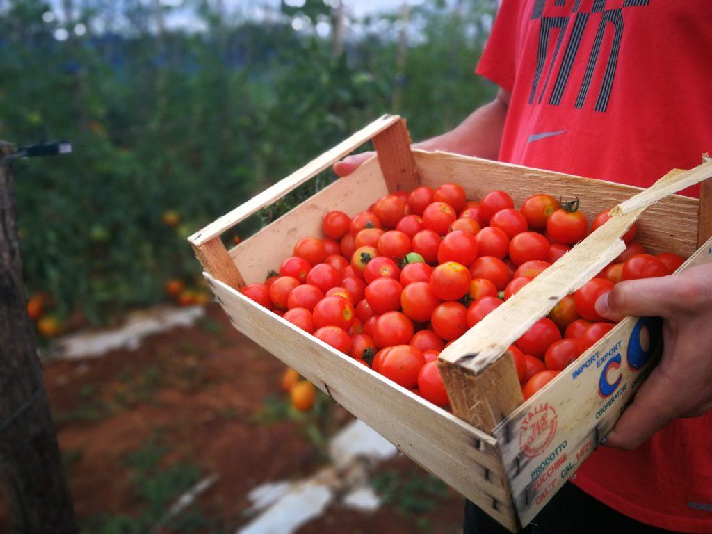 Sadimo svježe povrće i začinsko bilje u našem vrtu - Domaće slatke rajčice