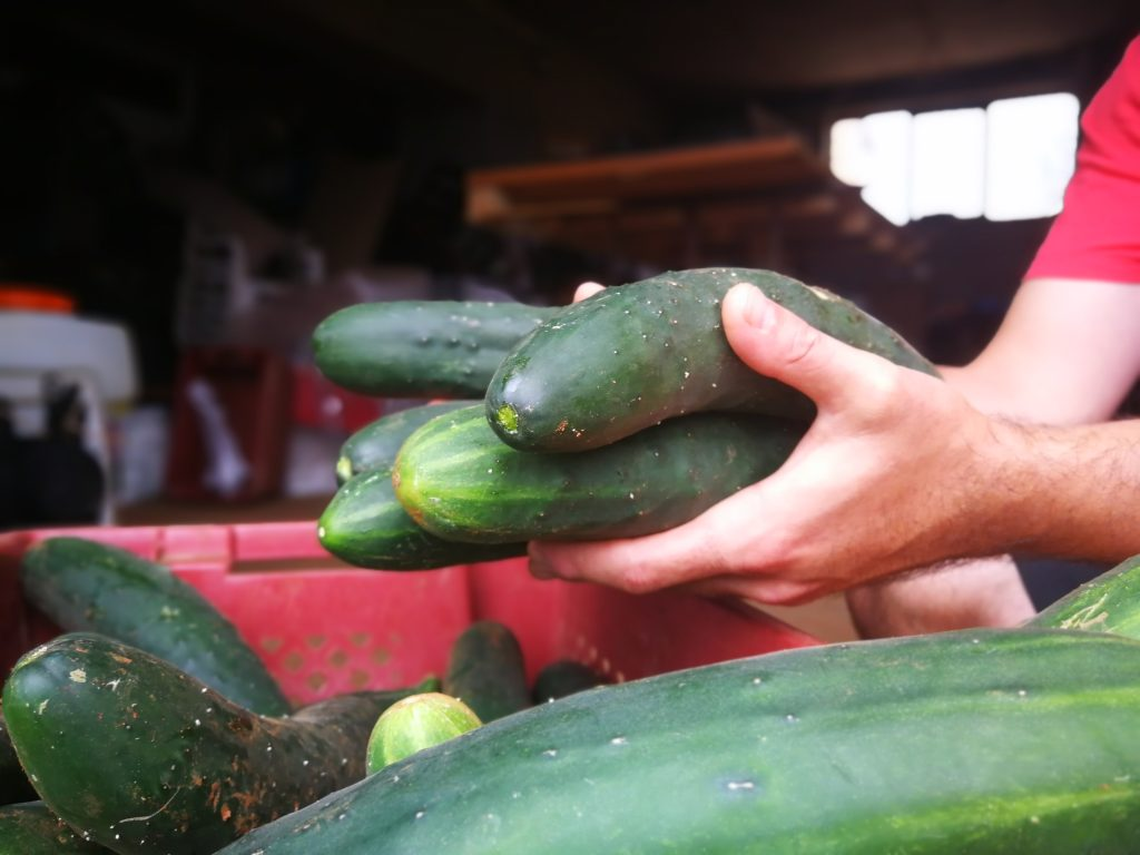 Homegrown cucumbers