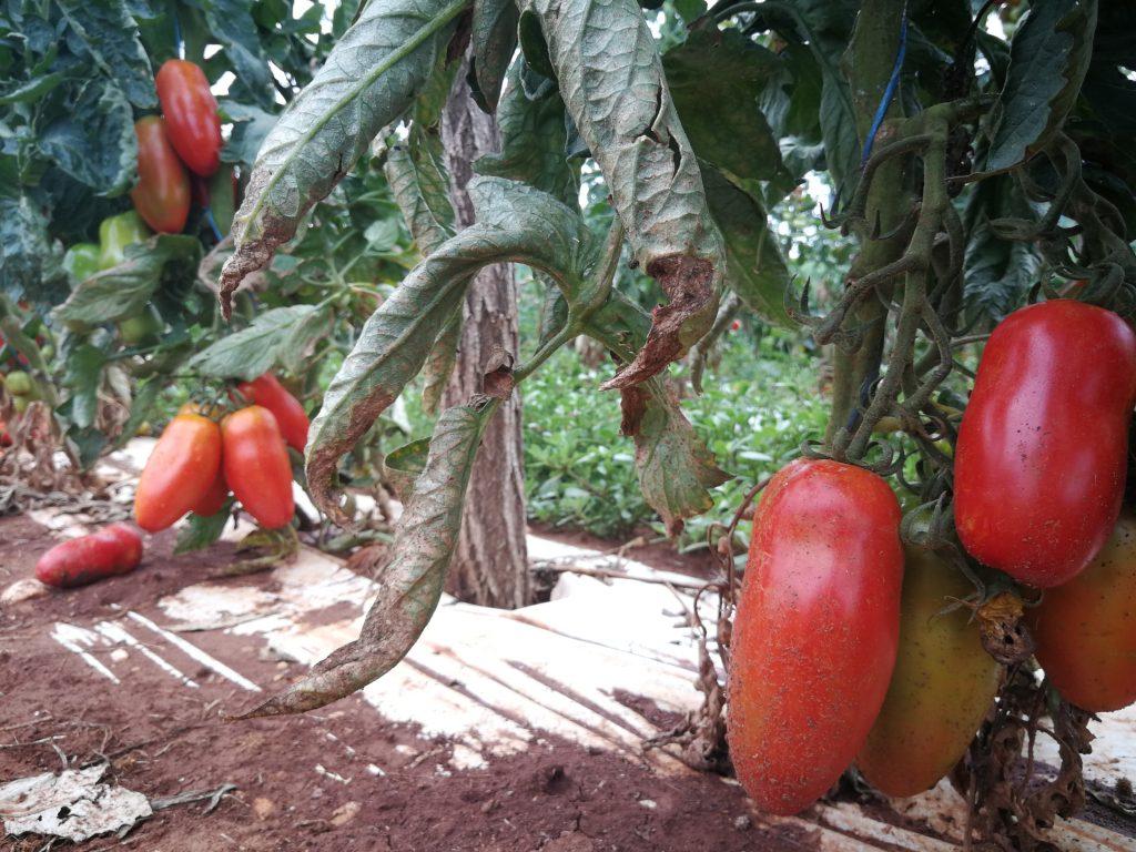Over 10 varieties of tomatoes