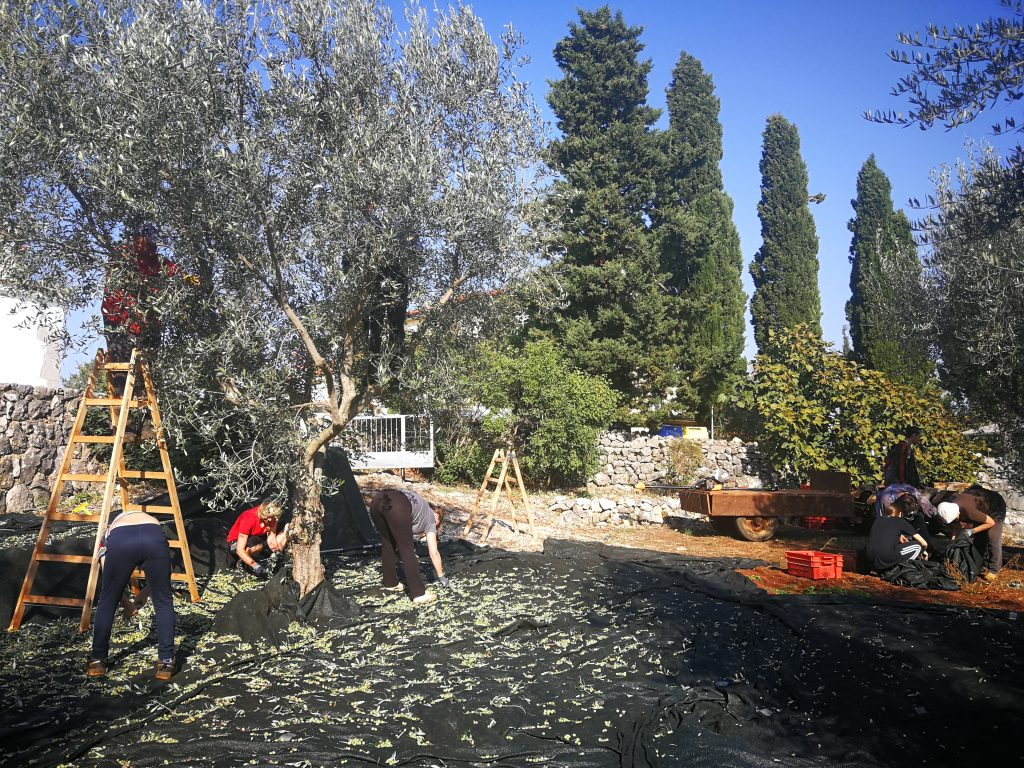 Olive Harvest in our groves